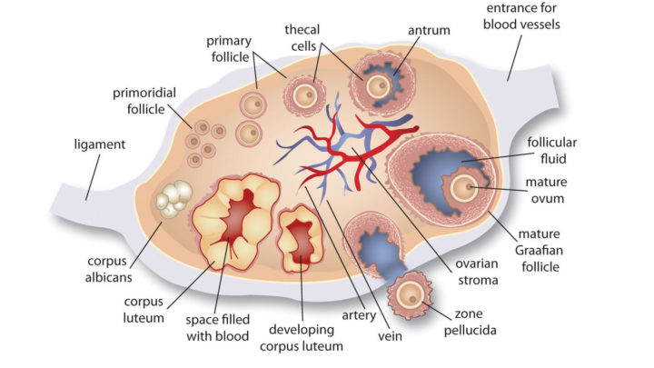 An Insight Into The Structure Of Ovarian Follicles
