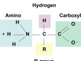 Have a look on the Amino Acid Structure